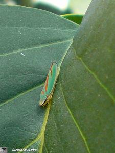 Cicadelle_du_rhododendron