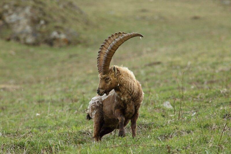 Bouquetin - Capra ibex_10-05-15_0028