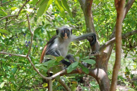 Colobe_rouge__for_t_de_Jozani___le_d_Unguja__Zanzibar___Tanzanie