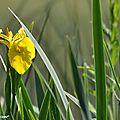 Iris des marais • Iris pseudacorus