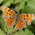 Polygonia c-album (robert le diable)