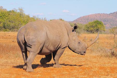 Rhinoc_ros_blanc_femelle__r_serve_d_Umfolozi__Afrique_du_Sud__3__c