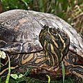 tortue aquatique sur l'herbe-0239