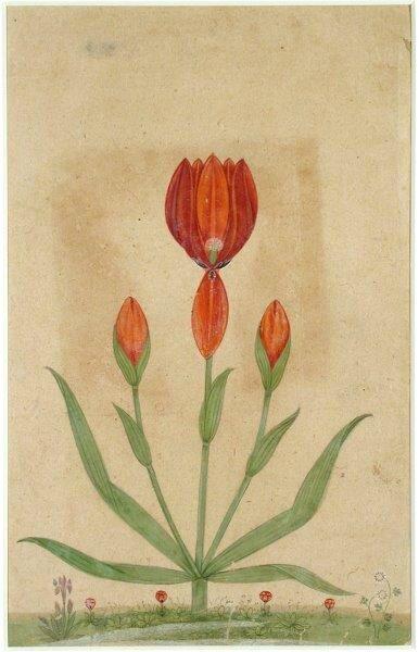 Anonyme-indien-Fleurs-et-boutons-de-Tulipes-18ème