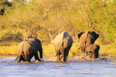 El_phants_de_savane__r_serve_de_Moremi__Botswana
