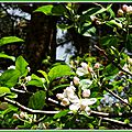 Fleurs de Pommier 1904152