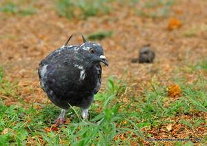 Pigeon_biset_3