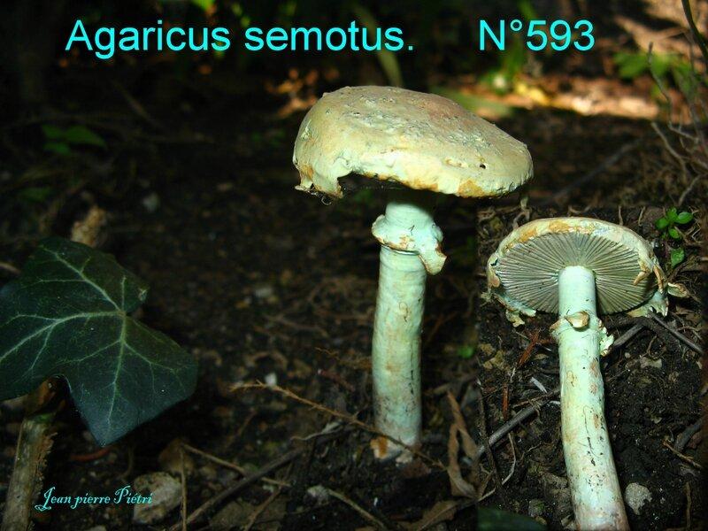 Agaricus semotus