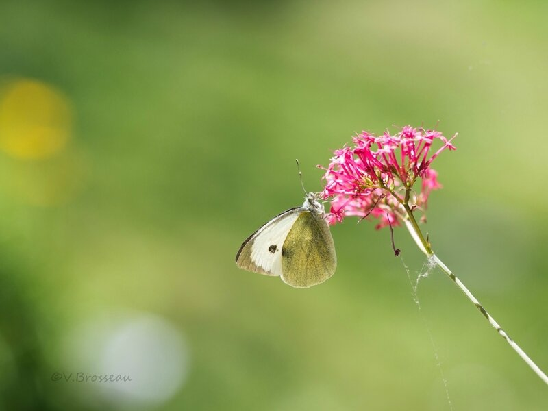 valériane-papillon17-03