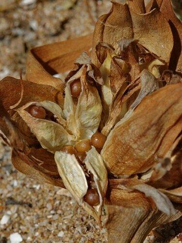 Androcymbium_gramineum-fruto-CapGhir