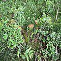 Cèpe d'été parmi la mousse et les myrtilles...