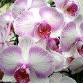 Phalaenopsis tout en nuance du rose vers le blanc