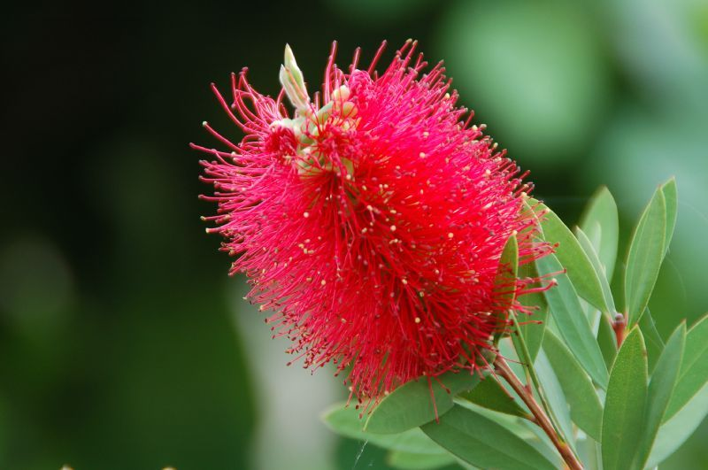 Mon amie la rose callistemon dit rince bouteille billy for Plante rince bouteille