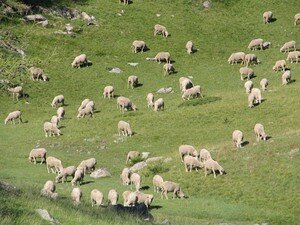 Moutons___Allos_4