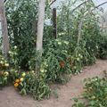 2009 07 14 Les tomates de Cyril sous serre