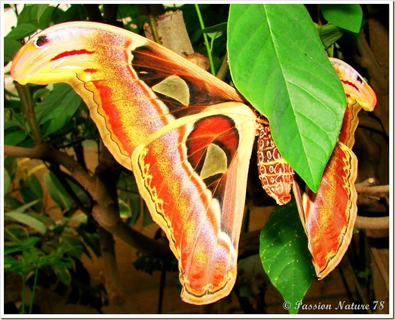 Papillon Attacus Atlas ou Bombyx Atlas (11)
