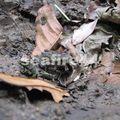 de manzanillo à gandoca_frog_03