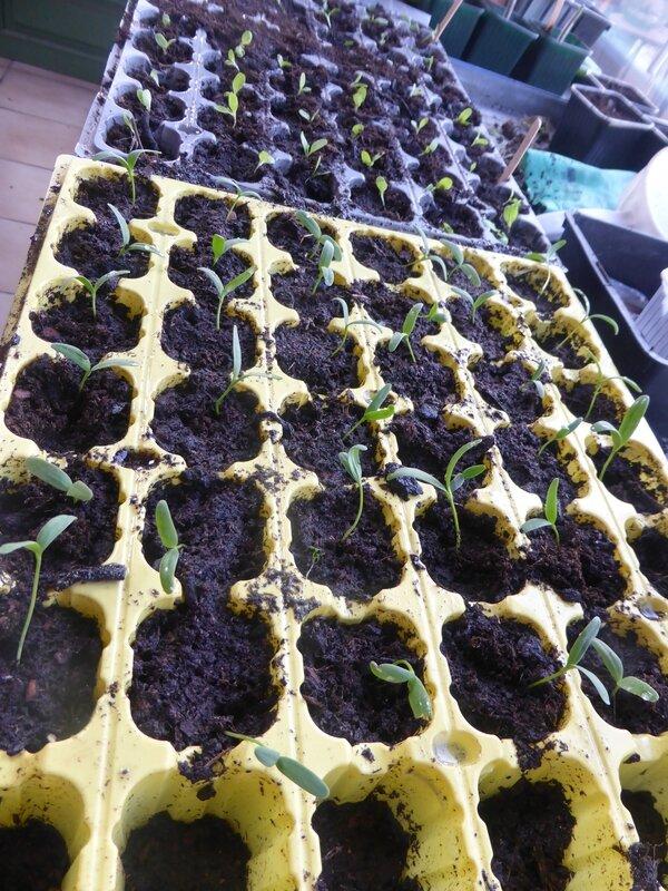 11-repiquage salade et arroche (4)