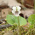 Violette réniforme - Kidney-leaved Violet - Viola renifolia