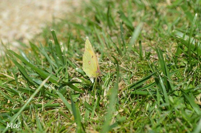 150510_papillon