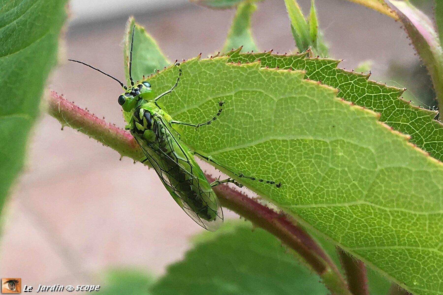 Un petit insecte au beau vert tendre presque fluo le jardinoscope toute la vie animale de - Insecte vert volant ...