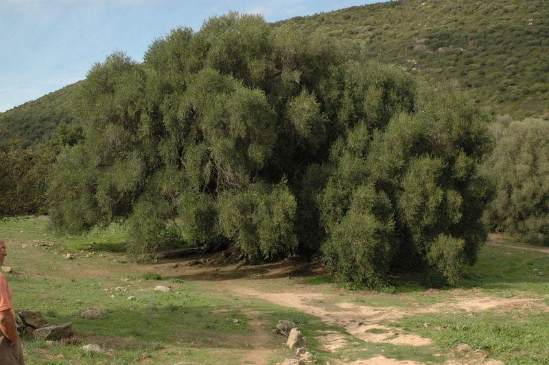 L'olivier tri millénaire de Luras