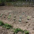 2009 05 11 Mes courgettes et potirons après le repiquage sous la mini serre