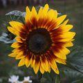 2009 07 26 Une fleur de tournesol coucher de soleil