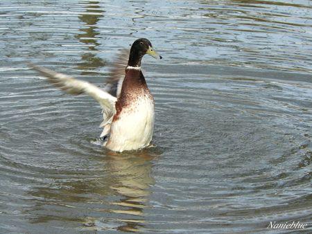 danse des canards2