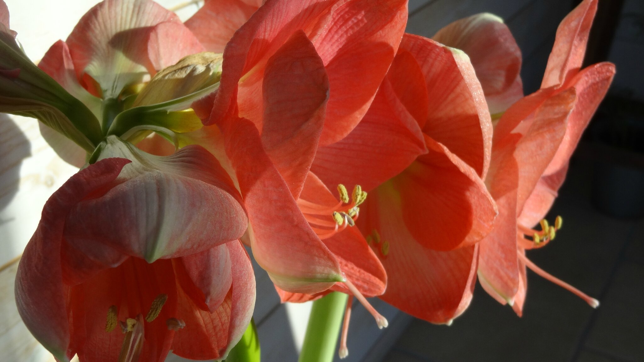Face d co amaryllis facevasion for Amaryllis deco