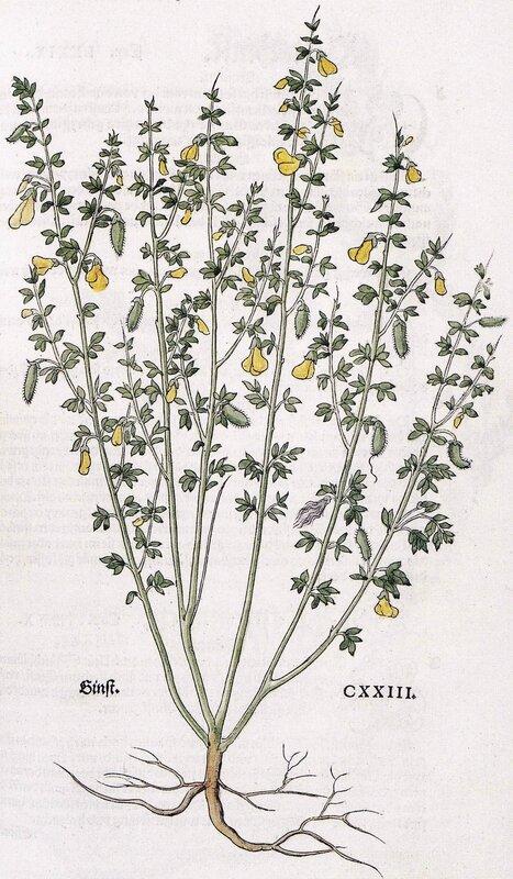 Cytisus scoparius - 1543 - L