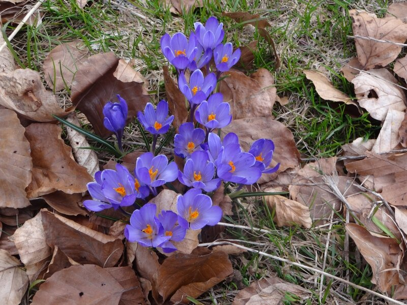 L crocus au Tres Mas Curty