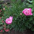 2009 06 14 Deux fleurs de pivoines