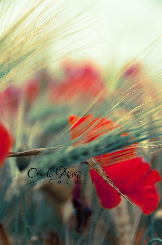 coquelicot2