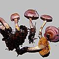 ウスムラサキフウセンタケ cortinarius subalboviolaceus