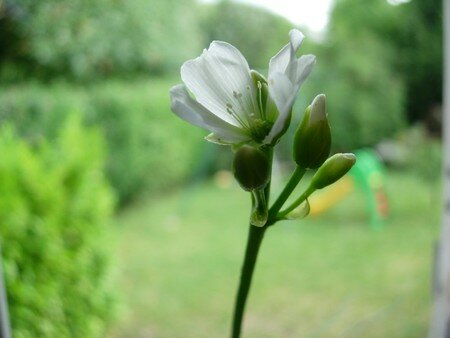 Fleur_de_dion__e
