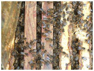 abeilles3 016