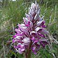 Les orchidées des alpes.