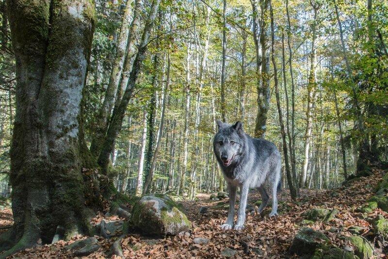 Le loup-Orlu