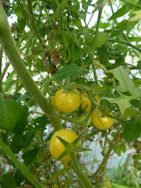 19-tomates serre (6)