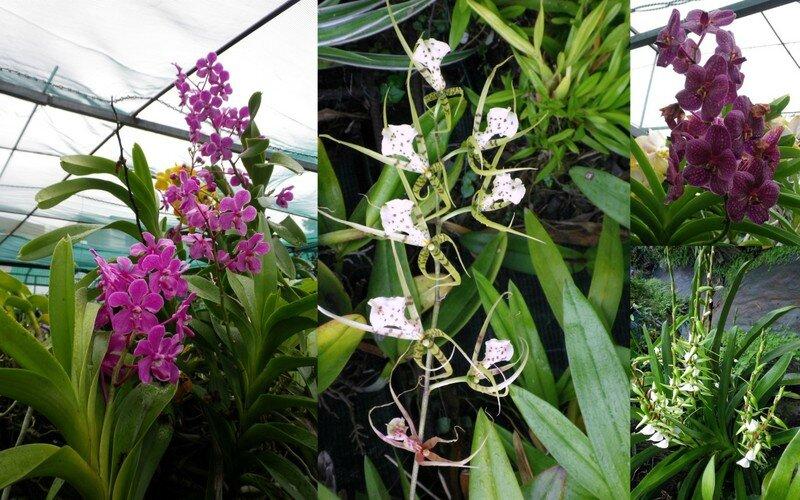 Orchidées et Grande Anse3