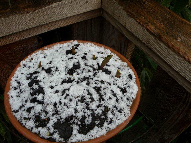 prepmières pousses sous la neige (800x600)