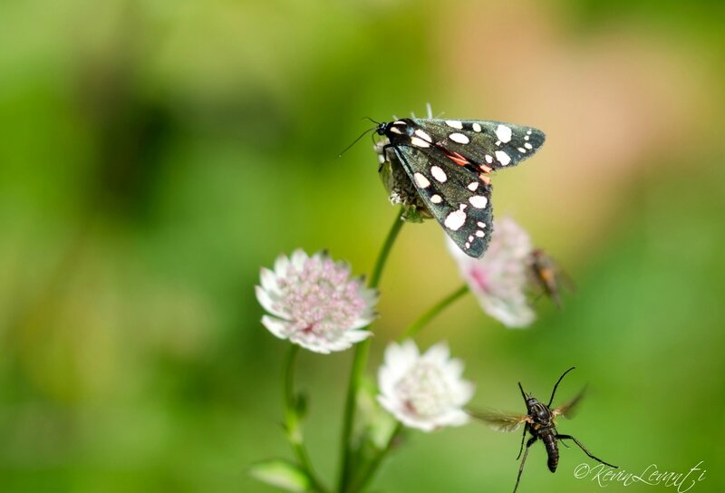 Ecaille marbrée - Callimorpha dominula (1)