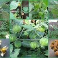 PHYSALIS COMPO 2