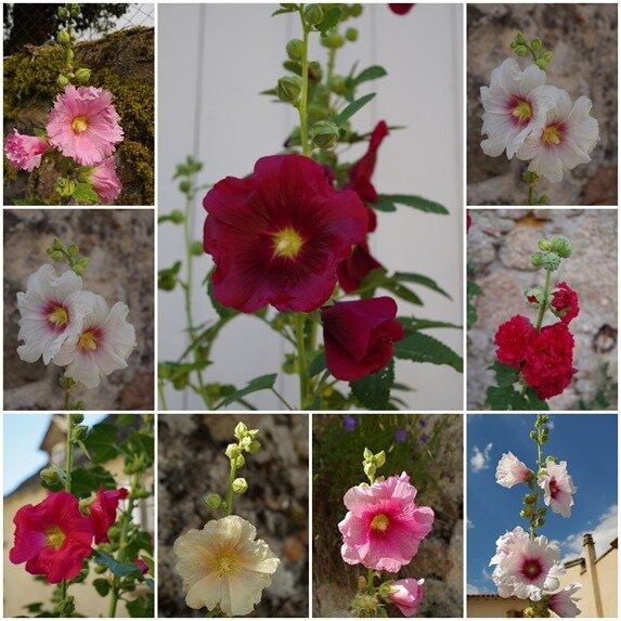 15 roses trémières