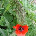 2008 08 19 Du sorgho et une fleur de coquelicot