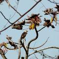 Buteo nitidus - Buse cendrée immature