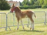 Festival du Boncoin - 16 Juin 2015 - Concours d'élevage local - Bourbourg