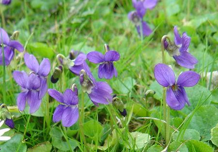 Violettes_024