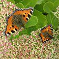 papillon petite tortue ou aglais urticae